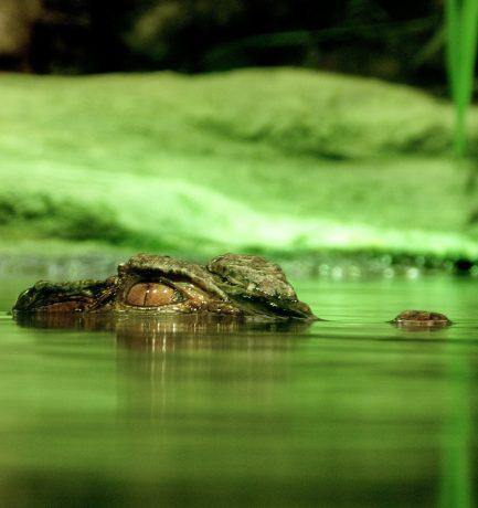 The old Crocodile and the young Crocodile