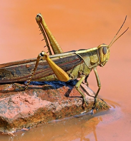 Kenyans and Locusts Have Something in Common